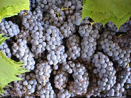 Какие сорта винограда подойдут для подмосковья. лучшие сорта, описание, особенности посадки, уход.