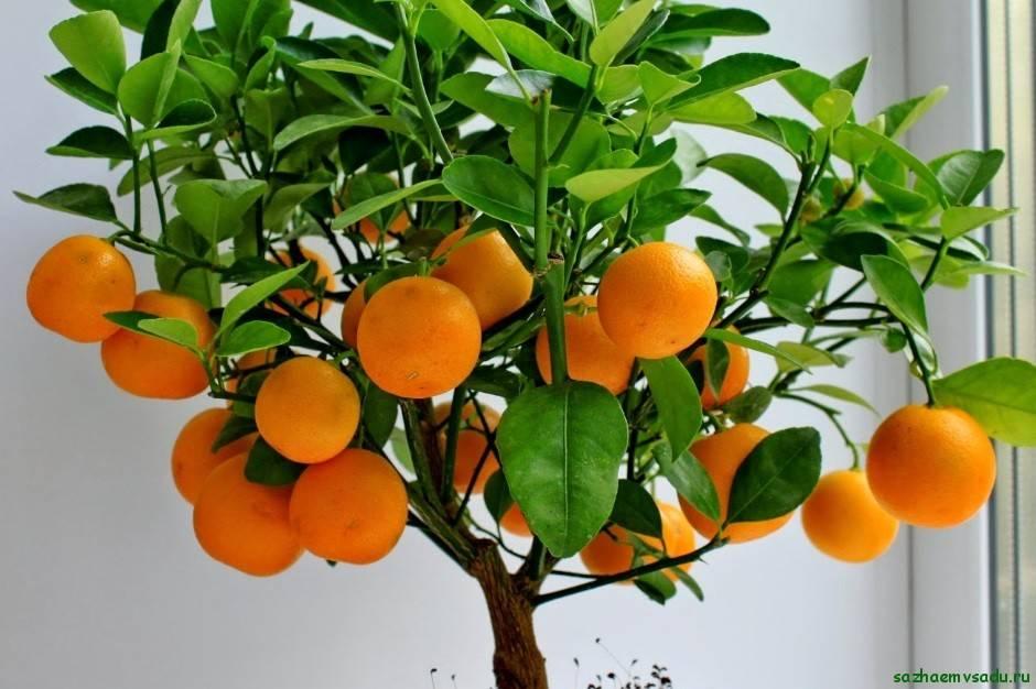 Мандариновое дерево: уход в домашних условиях, особенности полива и освещения, фото - sadovnikam.ru