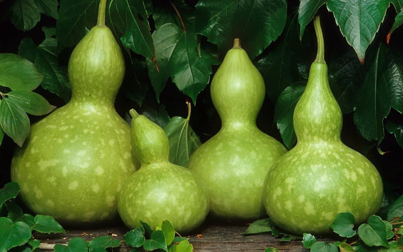 Лагенария: что это такое, змеевидная и обыкновенная, бутылочная или посудная тыква лианы, выращивание из семян, посадка и уход