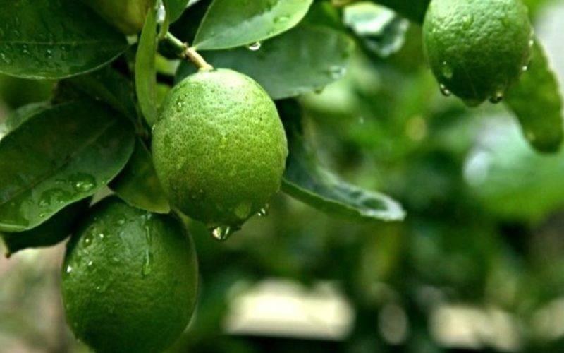 Дерево и фрукт лайм: фото как выглядит, как вырастить дерево из косточки в домашних условиях