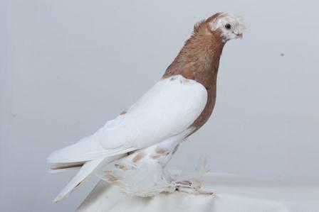 Описание и виды узбекских бойных голубей