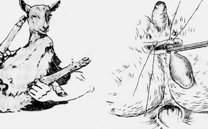 Кастрация козлят: лучший возраст и правила проведения в домашних условиях