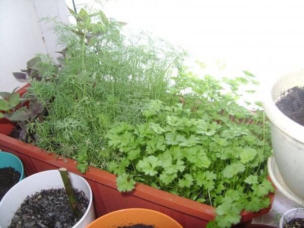 Выращивание петрушки дома на подоконнике: из семян и корней