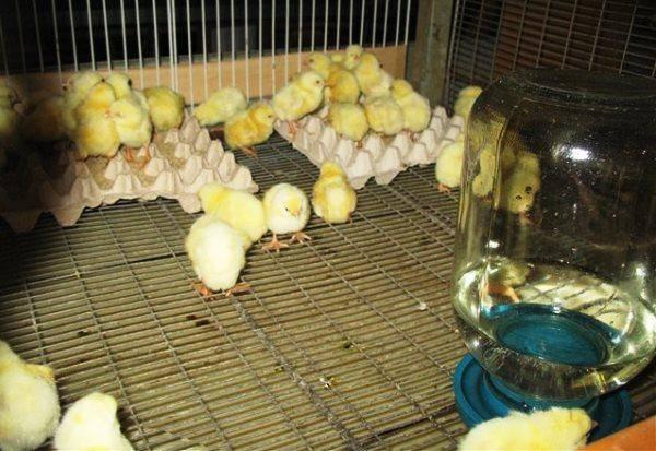 Цыплята бройлеры - содержание и выращивание в домашних условиях, уход и кормление, болезни