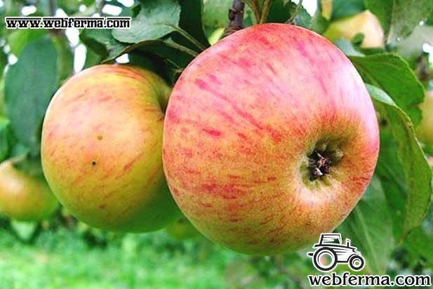 Яблоня медуница: описание, посадка, отзывы + фото