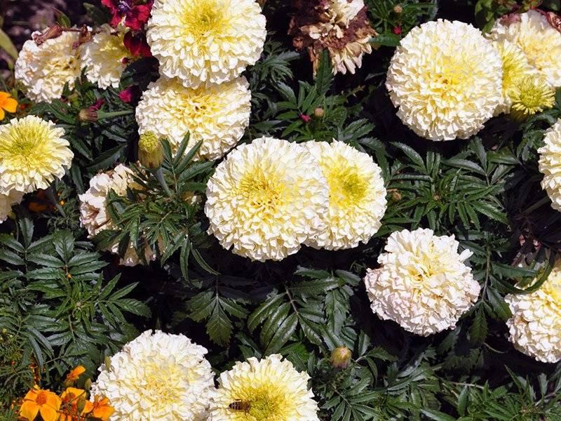Когда и как сажать бархатцы на рассаду? 43 фото выращивание из семян бархатцев. как их высаживать в домашних условиях? сроки посева для раннего цветения