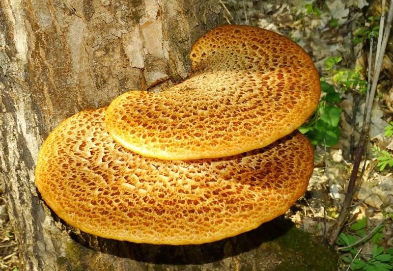 Какие съедобные грибы растут на деревьях и их описание (+34 фото)?
