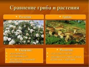 Клетка гриба отличается от растительной клетки отсутствием хлорофилла и возможности фитосинтеза