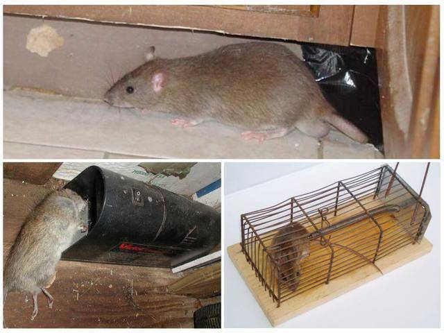 Как избавиться от крыс в курятнике, кто помогает защищать куриц