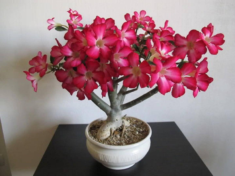 Адениум — роза пустынь. уход в домашних условиях. фото — ботаничка.ru