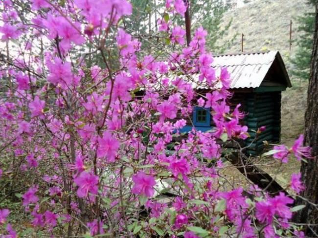 Растение рододендрон: фото, описание, посадка, уход и условия выращивания, морозостойкость рододендронов в саду