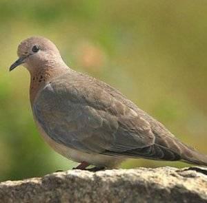 Голубь - 88 фото одной из наиболее распространенных птиц