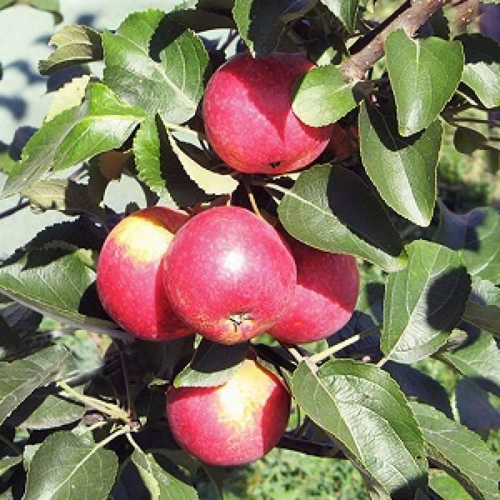 Яблоня заветное: описание сорта и характеристики, посадка, выращивание и уход с фото