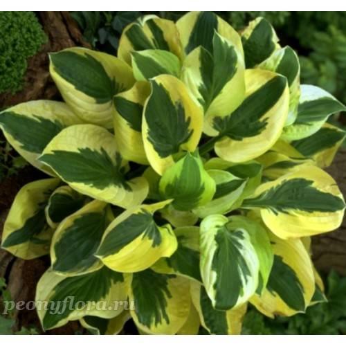 Хоста брим кап —  как выращивать растение | топ сад