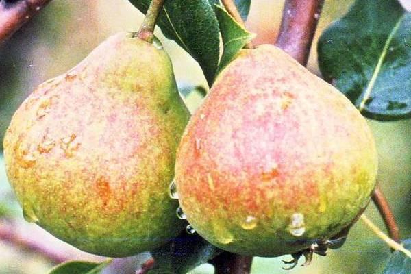 Описание самых сладких и сочных сортов груши с большими и вкусными плодами