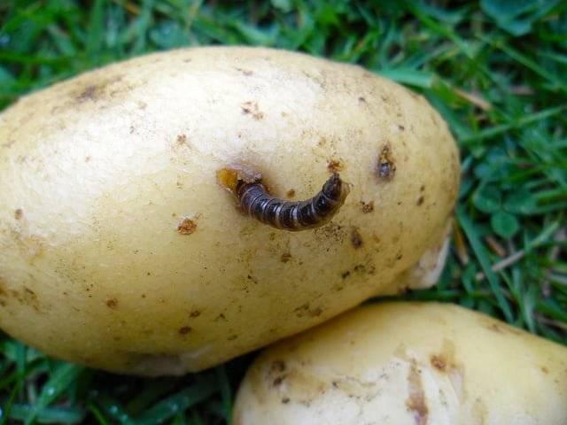 Как вывести проволочника из картофеля: химические средства и народные методы