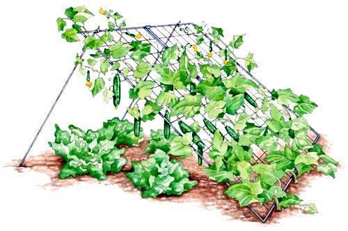 Огурцы: выращивание и уход в открытом грунте, посадка на рассаду