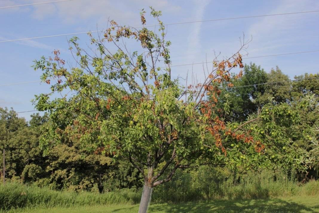 Коричневые пятна на листьях яблони, почему появляются и что с эти делать?