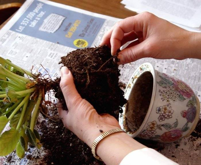 Пересадка комнатных растений, как правильно пересадить комнатный цветок