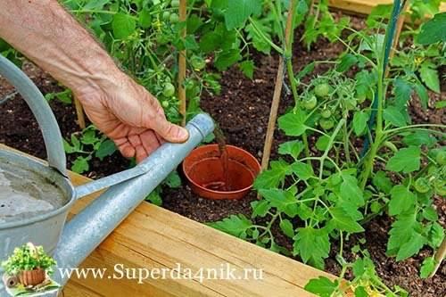 Выращивание томатов и их капельный полив в теплице