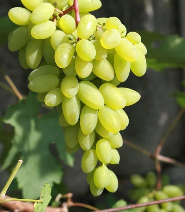 Виноград «гала»: гибридная форма для северных районов