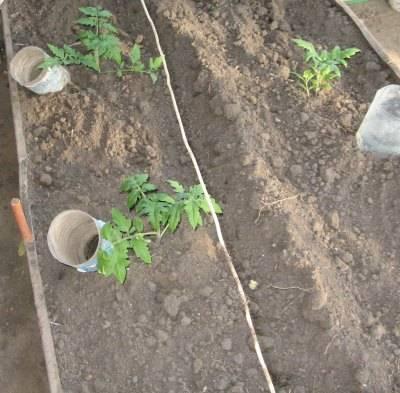 Как часто надо поливать помидоры в теплице | вырасти сад!