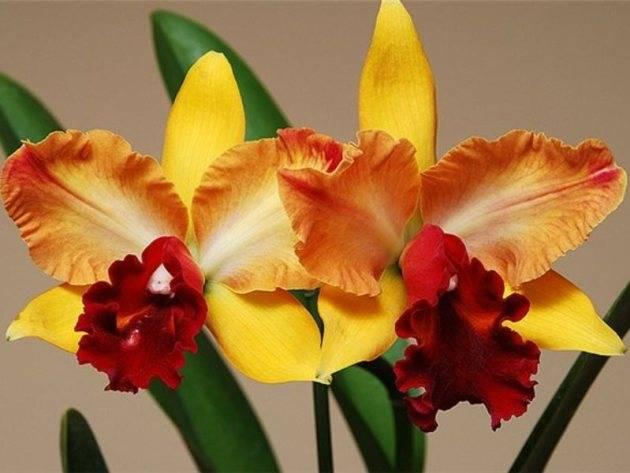 Каттлея — одна из самых популярных орхидей