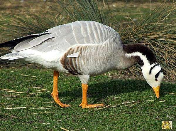 Виды диких гусей: фото, названия, описание