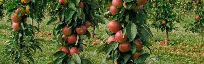 Как правильно посадить яблоню осенью | дом-дача-сад