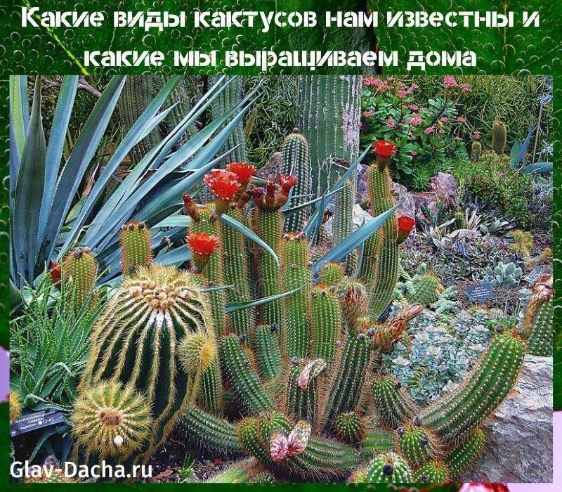 Цветущий кактус (31 фото): как в домашних условиях заставить цвести комнатное растение в начале зимы? как часто происходит цветение? виды кактусов с красными и розовыми цветами