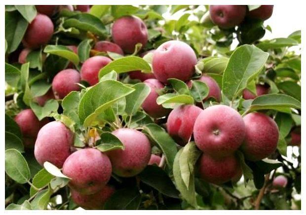 Яблоня слава победителю: описание сорта и фото, характеристики и особенности выращивания selo.guru — интернет портал о сельском хозяйстве