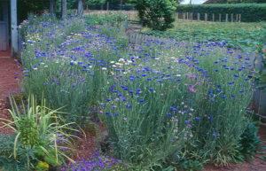 Цветок василёк садовый многолетний: всё об уходе, посадке, свойствах и многое другое