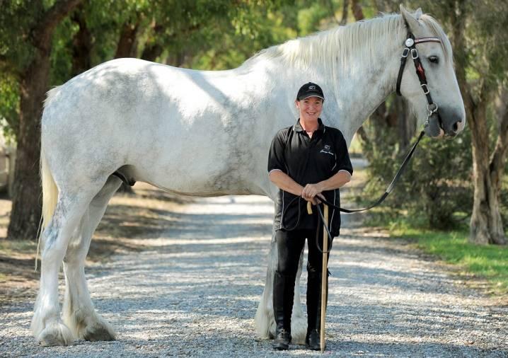 Топ-5 самая большая лошадь в мире: рейтинг самых крупных пород и рекордов