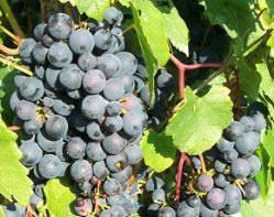 Сорт винограда альфа, описание с характеристикой и отзывами, особенности посадки и выращивания, фото