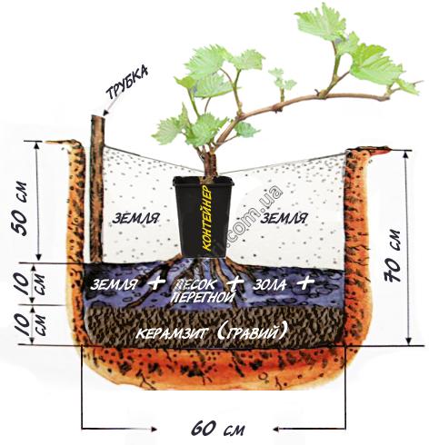 Как посадить весной виноград саженцами пошагово