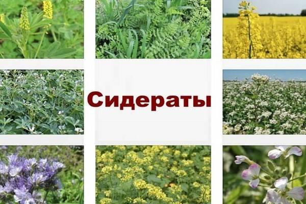 Сидераты: как правильно выбрать для посева на грядки на supersadovnik.ru