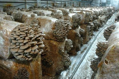 Как выращивать грибы вешенки в домашних условиях (+22 фото)