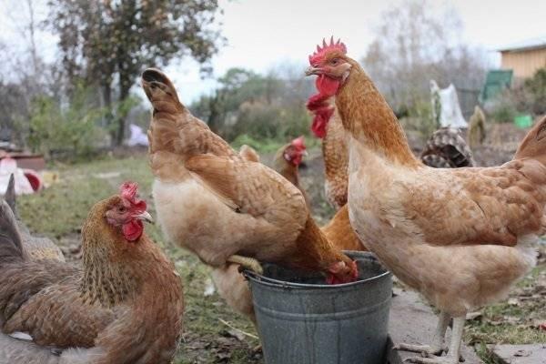 Царскосельские куры — описание породы, фото, продуктивность, содержание и кормление
