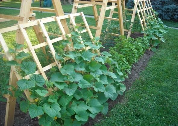 Огурцы на шпалере - выращивание в теплице и открытом грунте