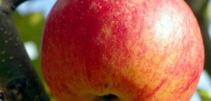 Характеристика яблони хани крисп - медоносы | описание, советы, отзывы, фото и видео