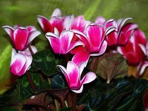 Цикламен. покупка, уход в домашних условиях, размножение. фото — ботаничка.ru