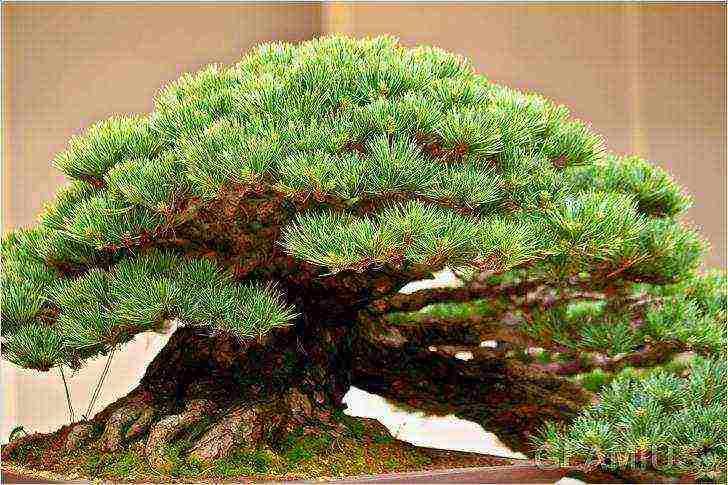 Бонсай из семян (31 фото): как выращивать дерево в домашних условиях? как прорастить семечко? как сажать семена? как растет бонсай?