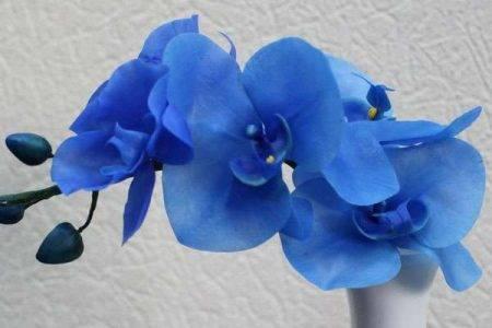 Бывает ли голубой фаленопсис