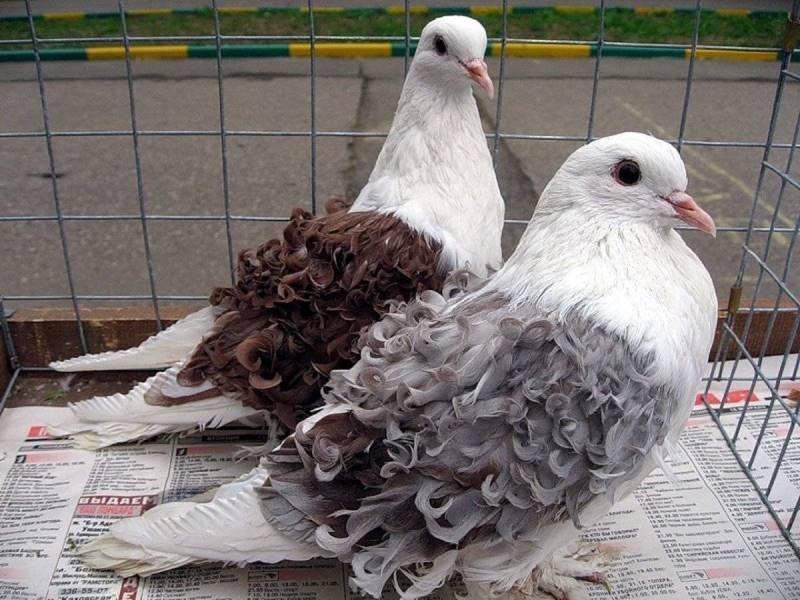 Как разводить голубей в домашних условиях?
