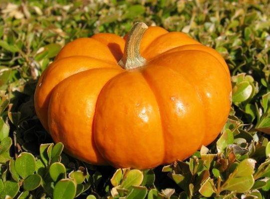 Подкормка тыквы в открытом грунте: чем подкормить и когда вносить удобрение