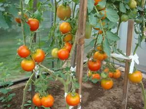 Как подвязать помидоры в теплице из поликарбоната фото схемы видео