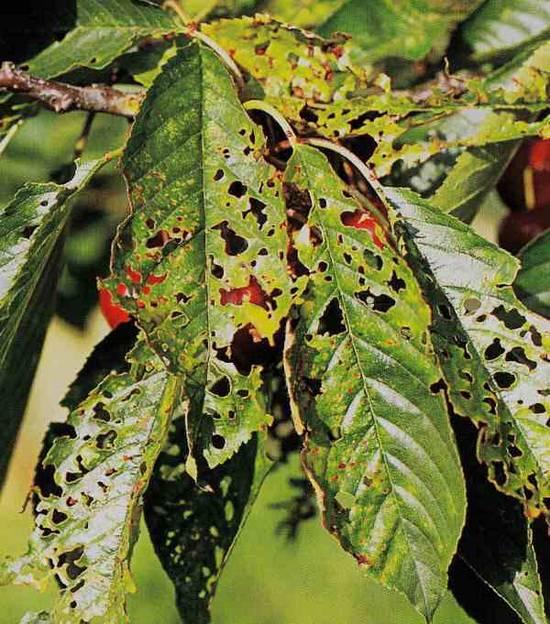 Почему сохнут ветки у вишни после цветения и что с этим делать