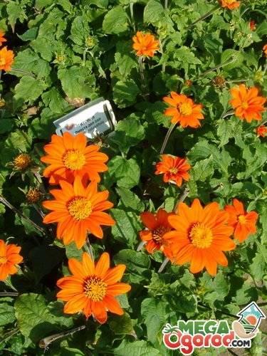 Цветок титония посадка и уход в саду выращивание из семян когда сажать на рассаду фото сортов - мы дачники