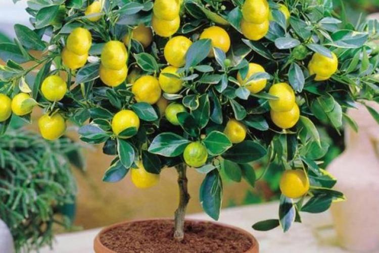 Апельсиновое дерево у вас на подоконнике: секреты ухода