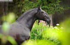 Шайр и кладрубская лошади — украшение любой упряжки